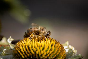 Coneflowers & Bees
