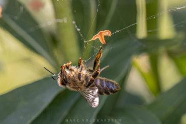 Biene im Spinnennetz