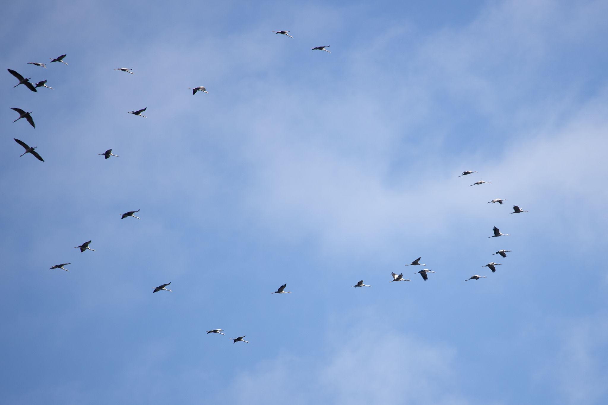 Cranes (0074)