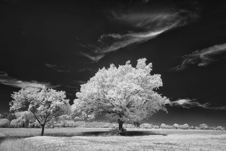 Oaks in the fields near Heidenau