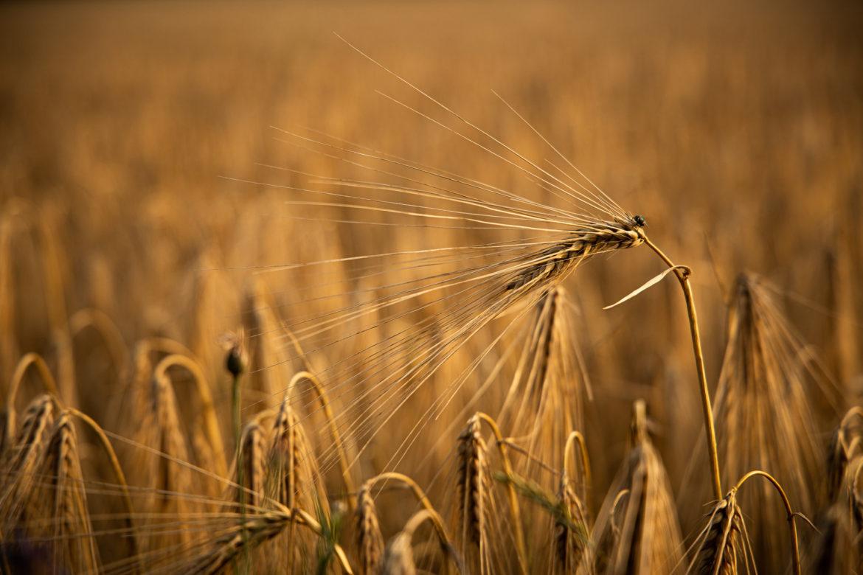 Getreide im warmen Abendlicht