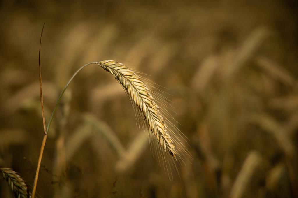 Rye grain