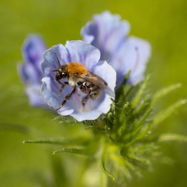 Blauer Natternkopf mit Wildbiene (0028)