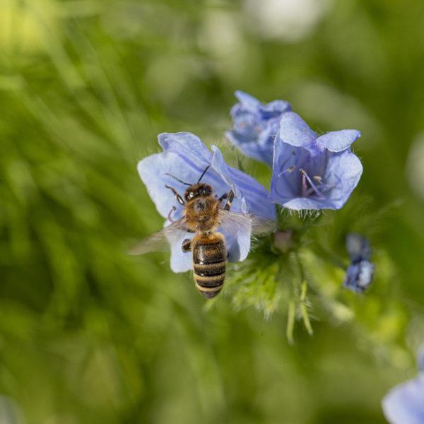 Blauer Natternkopf mit Wildbiene (0044)