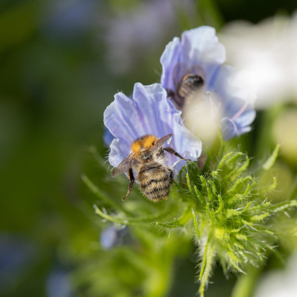 Blauer Natternkopf mit Wildbiene (0048)