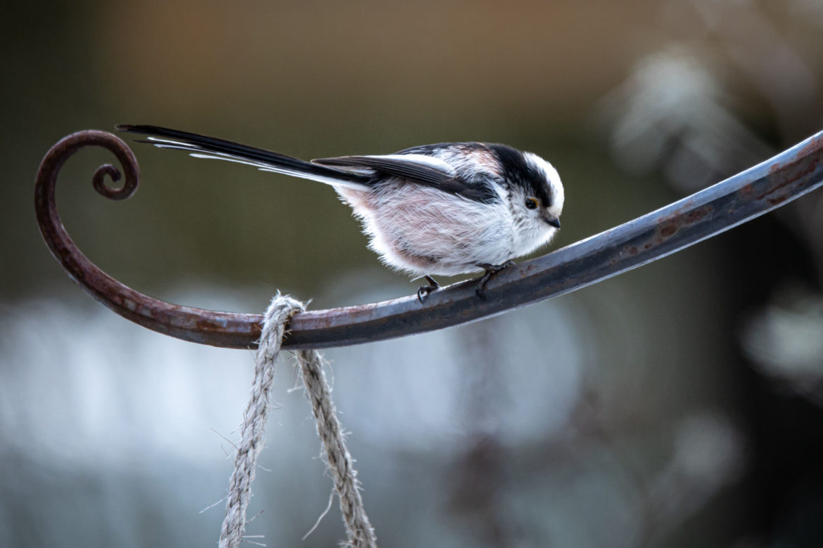 Long-tailed tit (0025)
