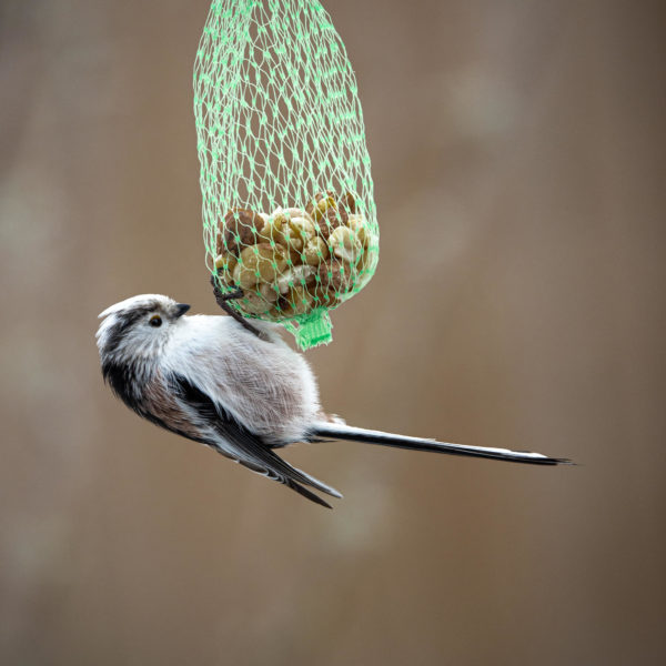 Long-tailed tit at nut net (0034)