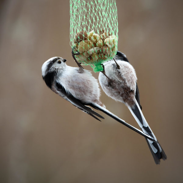 Long-tailed tits at nut net (0038)