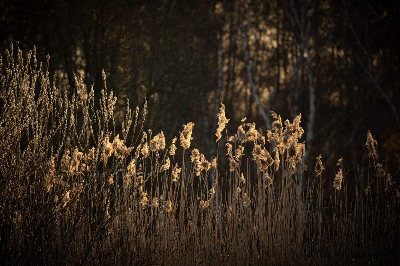 Steller See - Reed grass in evening light (0030)
