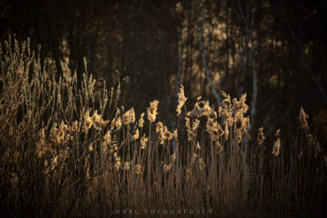 Reed grass in evening light