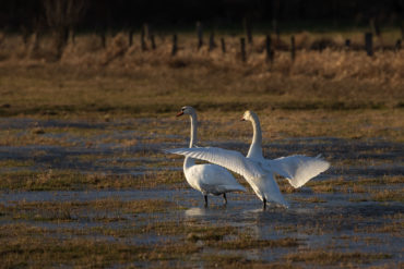 Swans on the flooded Junkernfeld