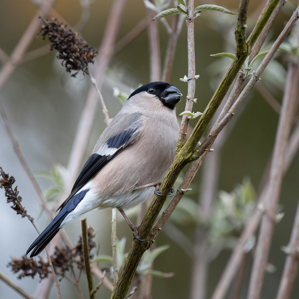 Female Bullfinch (0013)