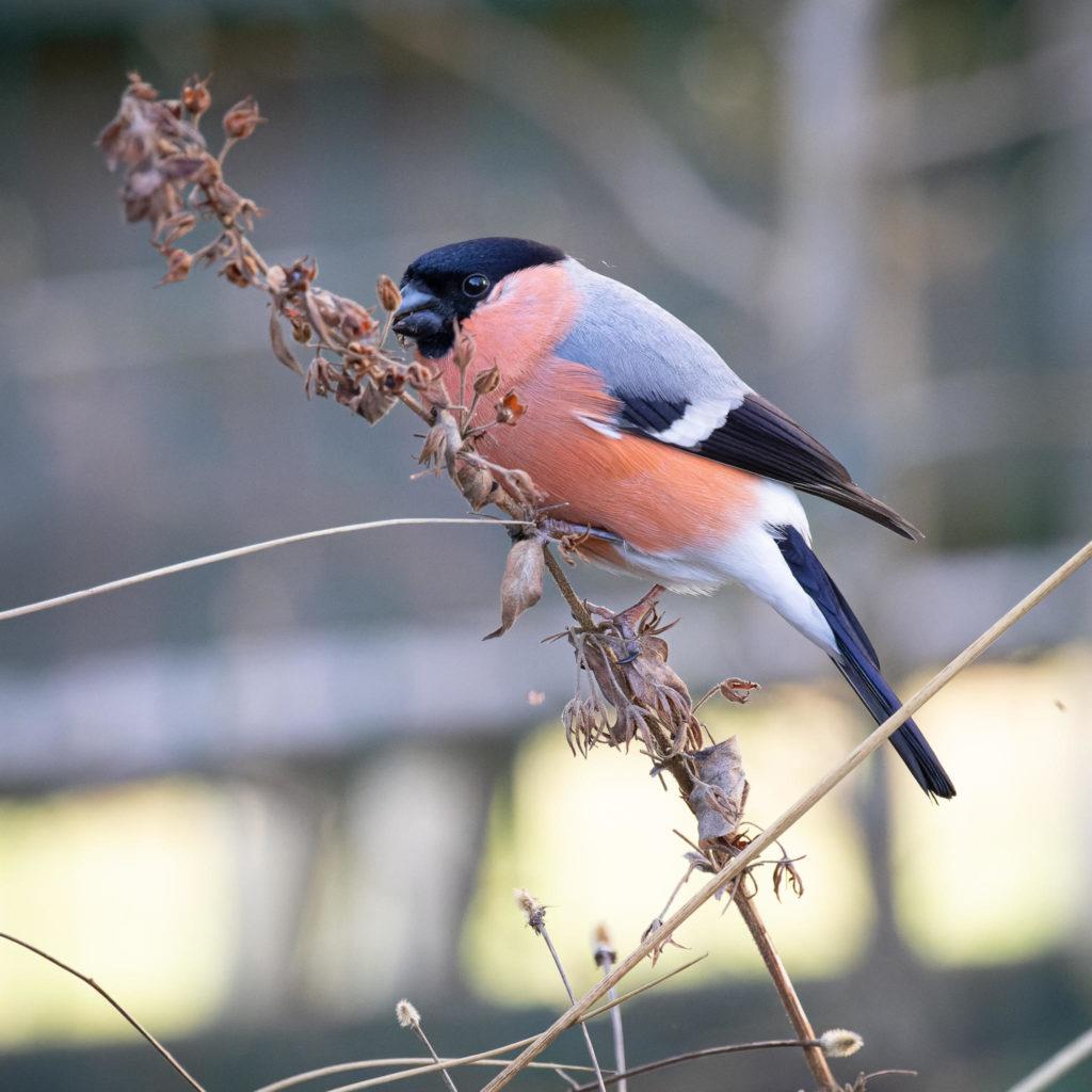 Male Bullfinch (0004)