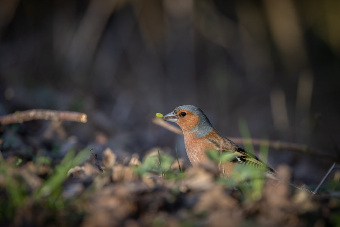 Chaffinch with seedling (0045)