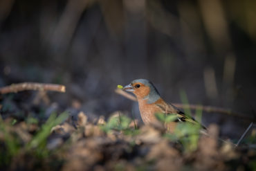 Chaffinch foraging forfood