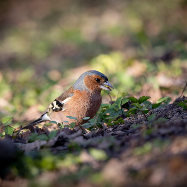 Chaffinch with seedling (0072)
