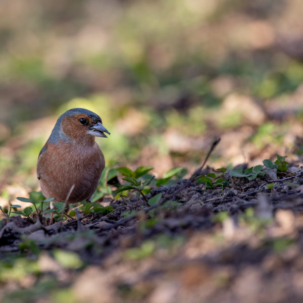 Chaffinch with seedling (0097)