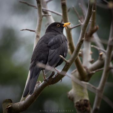 Blackbird with centipede