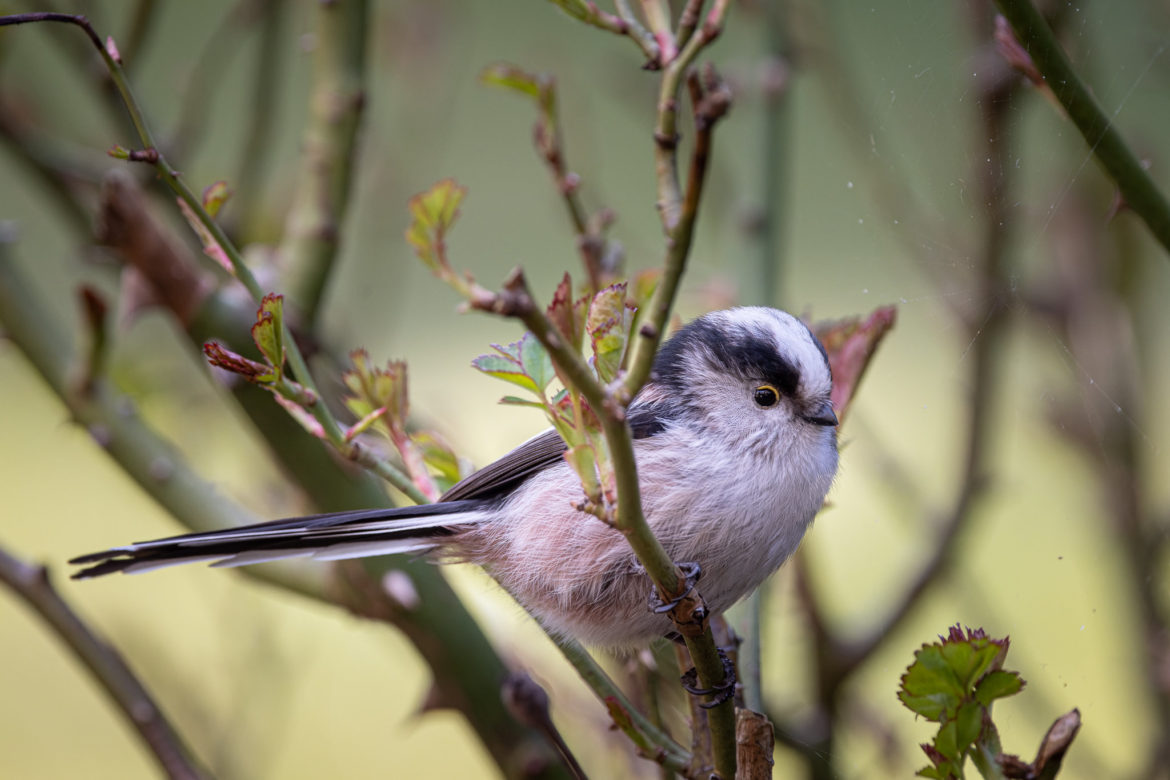 Long-tailed Tit (0104)