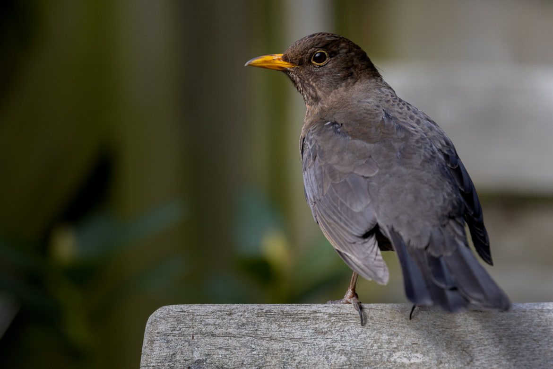 Female blackbird (0001)