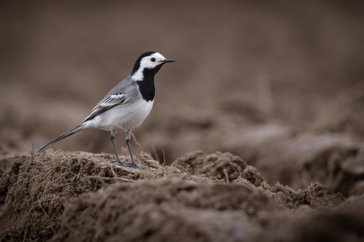 Pied Wagtail (0038)