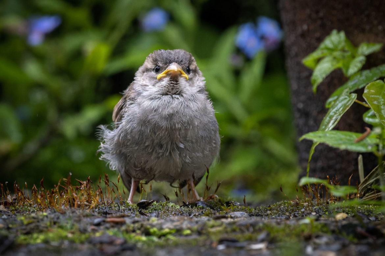 Little Sparrow (0070)