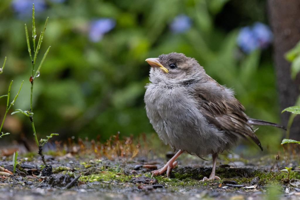 Little Sparrow (0078)