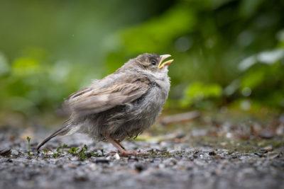 Little Sparrow (0092)