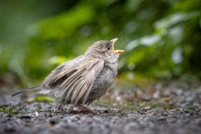 Little Sparrow (0093)