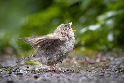 Little Sparrow (0094)