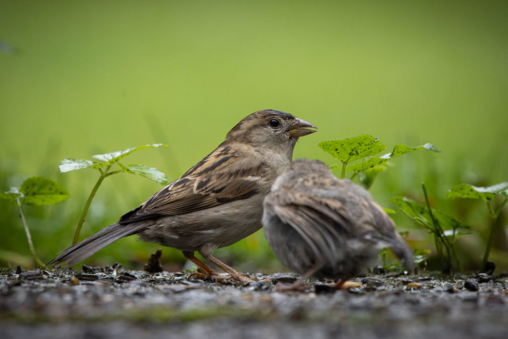 Mother Sparrow with Little Sparrow (0096)
