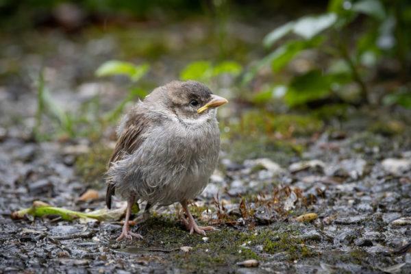 Little Sparrow (0214)