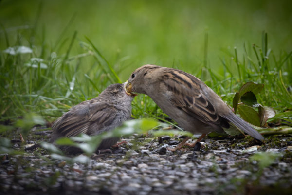 Mother Sparrow with Little Sparrow (0346)