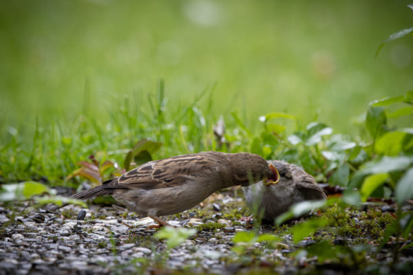 Mother Sparrow with Little Sparrow (0396)