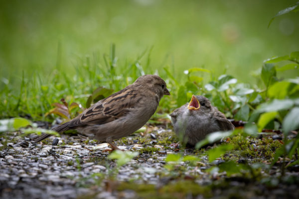 Mother Sparrow with Little Sparrow (0408)