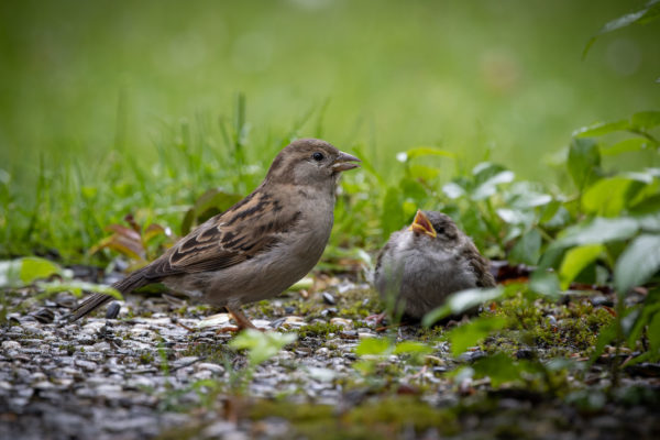 Mother Sparrow with Little Sparrow (0414)