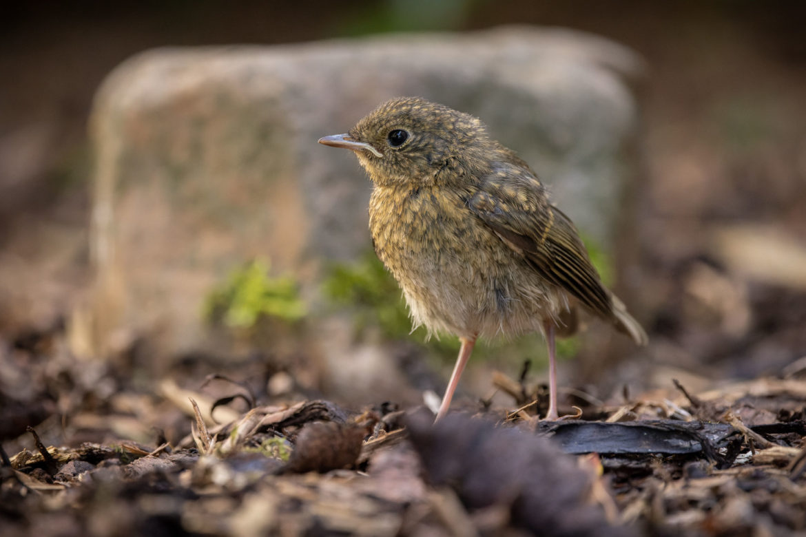 Young Robin (0014)