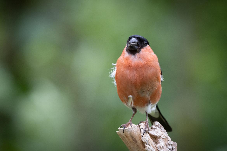 Male Bullfinch (0012)