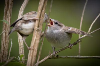 House sparrow feeding (0155)