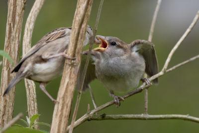 House sparrow feeding (0349)