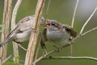 House sparrow feeding (0351)