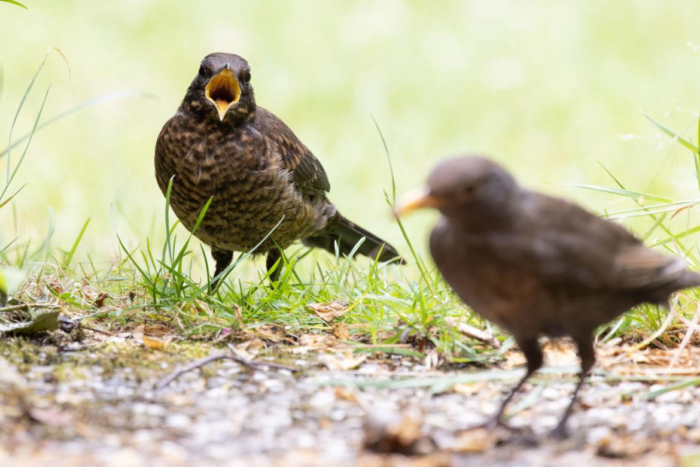 Demanding blackbird (0018)