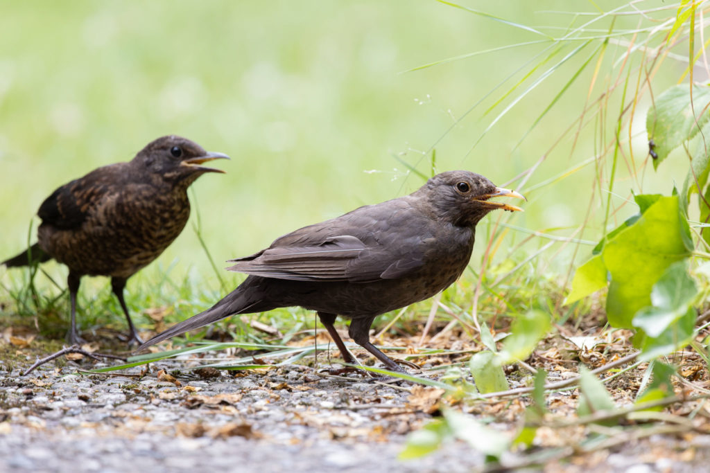 Mother blackbird with branchling (0055)
