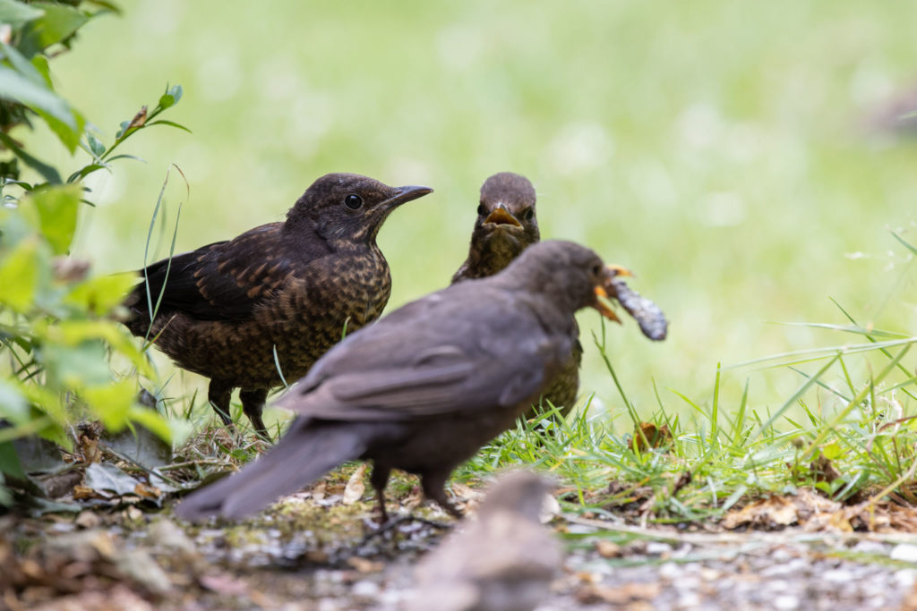 Feed envy between blackbirds (0105)