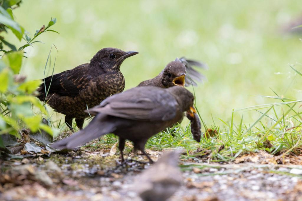 Feed envy between blackbirds (0114)