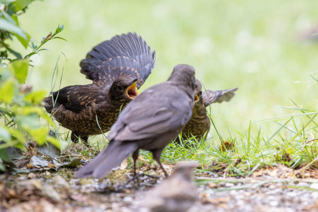 Feed envy between blackbirds (0118)