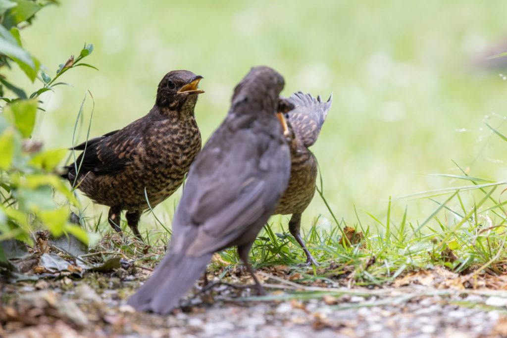 Feed envy between blackbirds (0121)