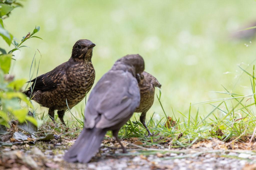 Feed envy between blackbirds (0123)